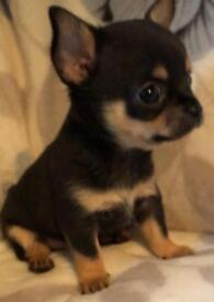 STILL AVAILABLE! LAST EXQUISITE QUALITY CHIHUAHUA GIRL