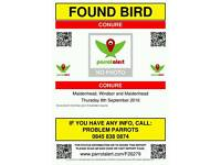 Conure Parrot FOUND