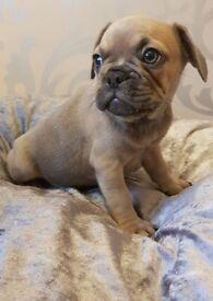 Quality kc french bulldog puppies!
