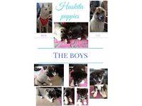 huskita boy puppies for sale £380 each