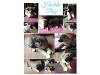 chunky huskita puppies £380 each