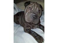 Beautiful black Shar Pei girl puppy