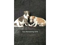 Beautiful KC Reg Whippet Puppies