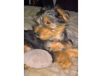Yorkshire terrier puppy girl 14wks old .