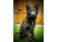 German Shepherd - Trained - Champion Bloodlines