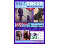 STOLEN Rocco Black Staffordshire Bull Terrier from Staines TW18