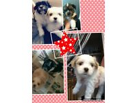 Pure Breed Lhasa Apso puppies