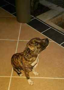 Staffy cross - Free to loving home Ipswich Ipswich City Preview