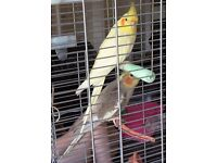 RELUCTANT SALE OF TWO COCKATIELS WITH 'VISION' CAGE