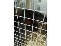 Female rabbit and big hutch