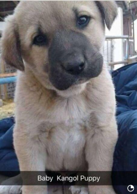 Turkish Kangal puppies for sale | in Stoke Poges, Berkshire | Gumtree