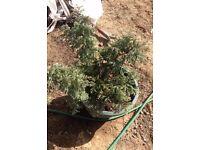 Conifer plant in pot