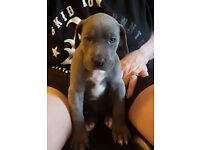 Chunky blue Great Dane puppies-only 3 girls left