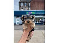 Male Yorkshire Terrier Puppy - READY TO LEAVE!