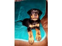 Rottweiler girl for sale
