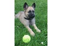 Female German Shepherd Puppy For Sale - 8 Weeks Old - Trained Well