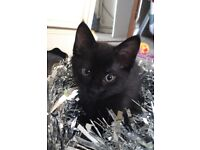 Beautiful dark chocolate kitten male