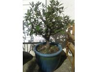 Bay Laurel Plant in Ornate Pot ~ Delivery Possible