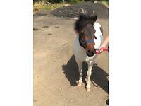 Shetland mare for sale