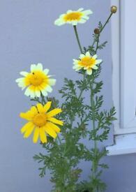 Type of Chrysanthemum flower plants