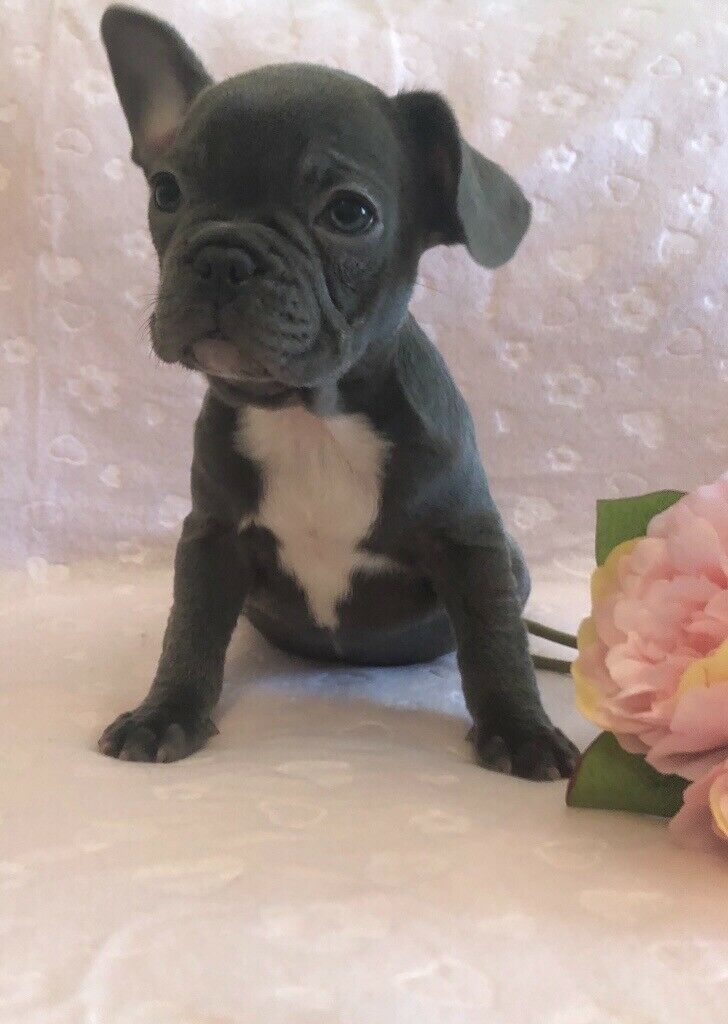 Ready Now French Bulldog Puppies Puppy Kc Bitch Dog Blue Grey And