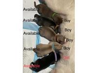 ** 5 Siberian husky pups . **
