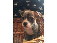 Gorgeous Pushon Pug X Bichon Frise Puppies For Sale