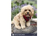 Looking for Cavapoo / Cavachon Male Adult Dog