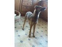 Lurcher puppy for sale