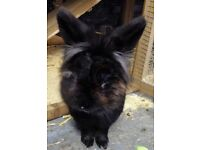 Thumper the Lionhead rabbit is looking for a good home