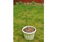 2 Year Old Bramley Seedling Apple Tree Fruit Tree in Plastic Container Garden Pot
