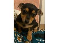 Mixed Chihuahua Jack Russell