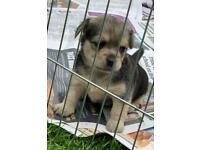 Yorkshire Terrier cross