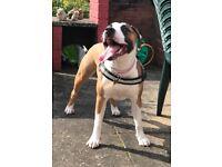 Staffordshire Bull Terrier x old English Bull dog x pocket bully