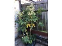 HUGE outdoor Fatsia or Caster oil tree/plant - 6 feet tall