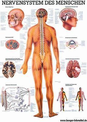 NEU Lehrtafel, Lehrposter, Poster: Das Nervensystem