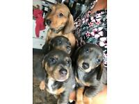Miniature Dachshund puppies- BLUE MALE LEFT.