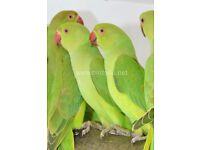 Baby Ring neck talking parrots for sale