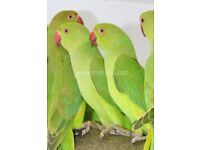 Baby green Ringneck talking parrots for
