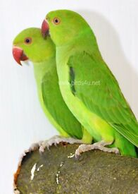 Baby Ringneck talking parrots