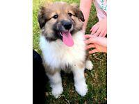 Rough Collie (Lassie) Border Collie Mix Puppies.