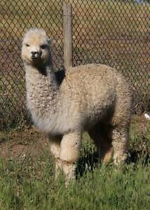 Young Female Alpaca - REDUCED Mount Barker Mount Barker Area Preview