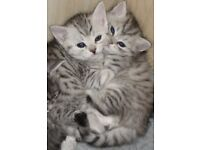Beautiful Silver Tabby British Shorthair Kittens For Sale