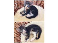 Little cute kittens for sale. Tabbies, black-white