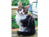 Half Maine Coon cross Kittens - Gorgeous TABBY *Vet Health Checked