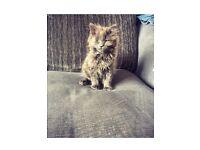 Beautiful Blue Kitten's For Sale
