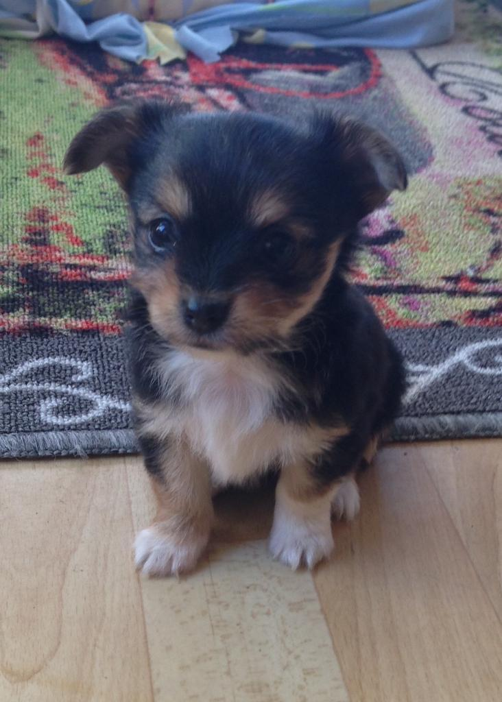 Yorkshire Terrier Cross Chihuahua Puppies For Sale In Exeter