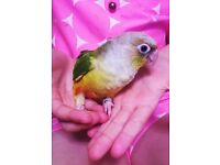 TAME BABY CONURE PARROT BIRD