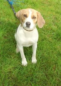 Full breed beagle for sale 2year old female .