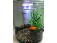 Two small fish, fish tank and accessories